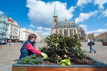 Centrum Plzně se zazelenalo. Vyrostly tu rododendrony.