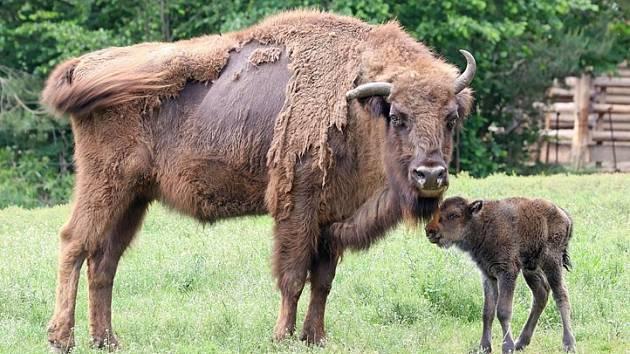 Vítej na světě! V plzeňské zoo se narodila malá zubří holčička Onica.