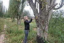 Ze severozápadního břehu Velkého boleveckého rybníka zmizí v nejbližších dnech 94 letitých topolů