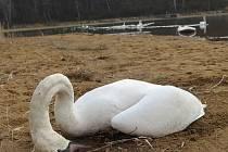 Labutě umírají kvůli krmení pečivem.