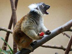 Noví lemuři tmaví v plzeňské zoo