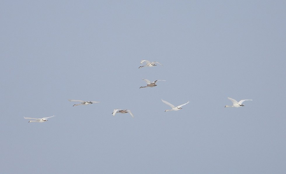 Letící hejna labutí.