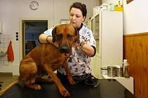 Pacienti se v ordinaci U Tří voříšků příliš nebojí, na což je veterinářka Dagmar Caltová náležitě pyšná. Dvouapůlletý ridgeback Archie přišel jen na pravidelné očkování a prohlídku. Zkontrolovat oči, uši, zuby, uzliny a je hotovo