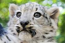 Chandra - kotě sněžného levharta v plzeňské zoo