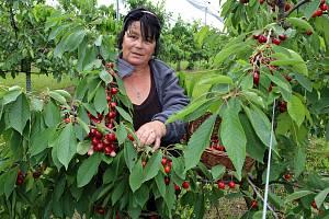 V Nebílovských sadech pokračuje prodej trhaných třešní. Milovníci těchto sladkých plodů si je mohou zakoupit přímo v sadech tento týden a pozdnější odrůdy zřejmě i v týdnu příštím. Cena je 99 korun za kilogram. Na snímku Anna Dubská.