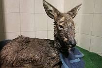 Vyčerpaná srna v záchranné stanici v Plzni