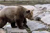 Medvědi v plzeňské zoo se probudili ze zimního spánku.