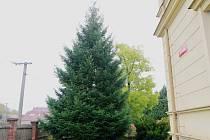 Douglaska  zatím roste v charitní zahradě v Radobyčicích, v listopadu se přesune na náměstí Republiky v Plzni
