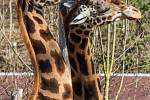 Poprvé po zimě je možné ve venkovním výběhu spatřit žirafy.