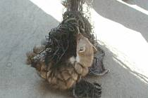 Kunu, která uvízla ve sklepě, strážníci po odchytu vypustili do volné přírody