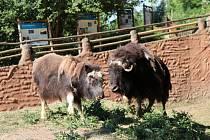 Spojování pižmoňů v plzeňské zoo