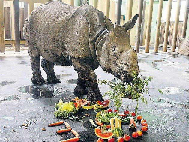 Ovocno–zeleninová pochoutka zmizela během několika minut. Oslavenkyní je Manjula, tříletá samice nosorožce indického.