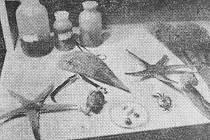 PRAVDA, 1. ZÁŘÍ 1967. Se zajímavými úlovky se vrátili před několika dny členové organizace plzeňských potápěčů, kteří pobývali spracovníky plzeňské lékařské fakulty tři neděle na jugoslávském pobřeží. Jejich úlovky putovaly do školních kabinetů.
