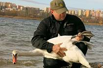 V Plzni objevila se labuť velká s německým kroužkem na noze