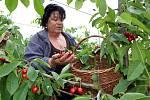 Nebílovské sady prodávají třešně na samosběr.