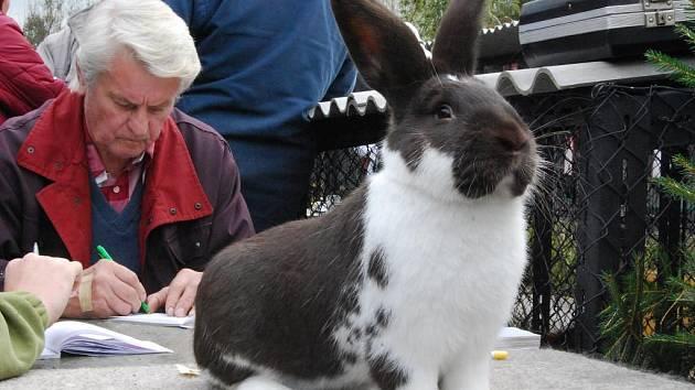 Kromě několika druhů králíků jsou na výstavě v Přešticích k vidění i české husy, hrdličky, holubi nebo krůty a také expozice klubu chovatelů meklenburských strakáčů