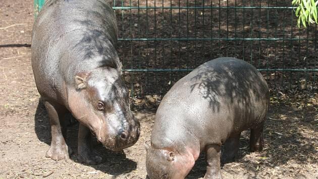 Dvojici hrošíků liberijských v plzeňské zoo doplnili sedmiměsíční samec C. P. a jeho matka Monica