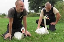 Lidé z plzeňské záchranné stanice živočichů společně s dobrovolníky letos odchytli, zkontrolovali a okroužkovali na dvě stě labutí.