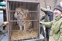 Dvouletý samec Tiber přijel do Plzně ze zoo ve Dvoře Králové