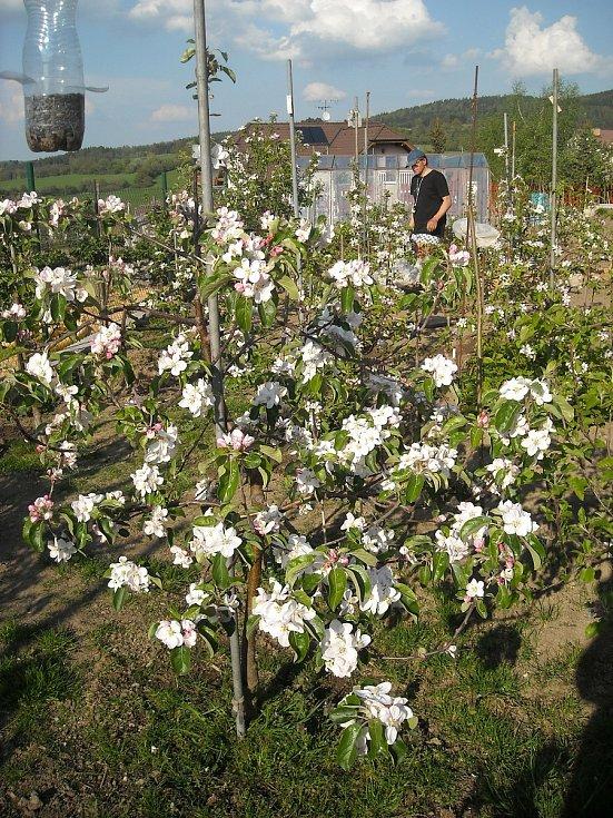 Jabloně v květu.