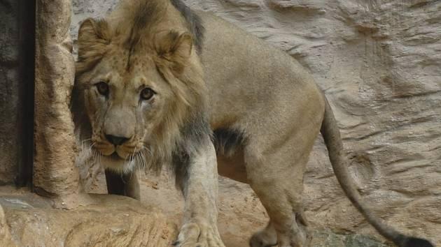 Matýsek, lev berberský