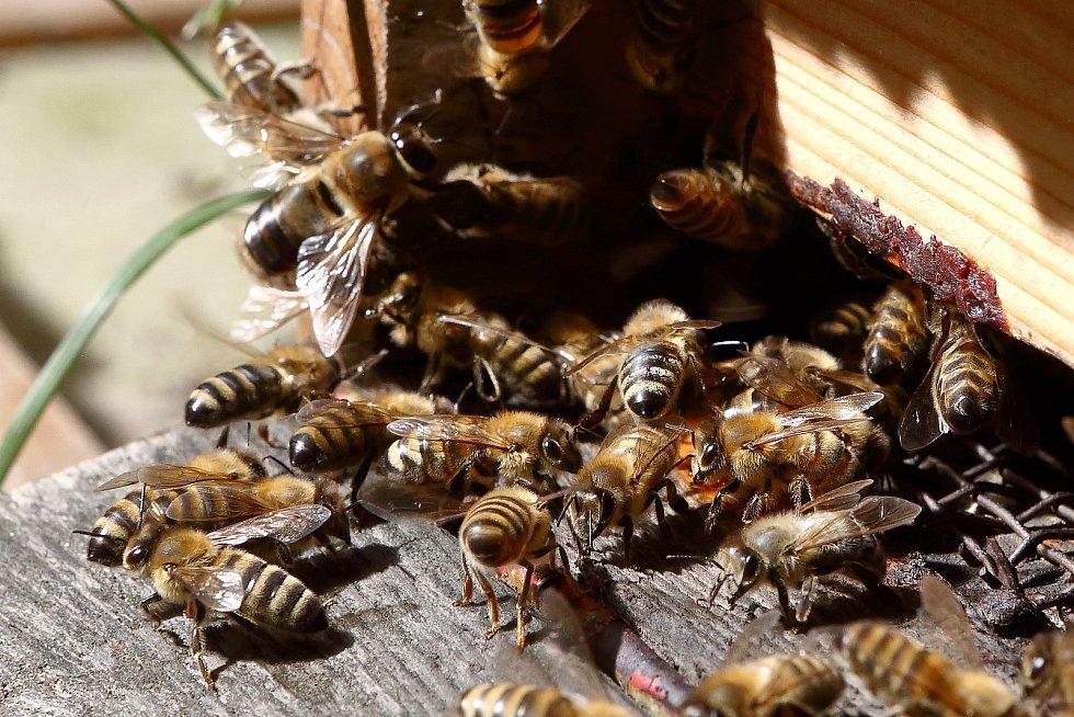 06 - Vchod do úlu se nazývá česno. Tudy včely nosí nektar a pyl.