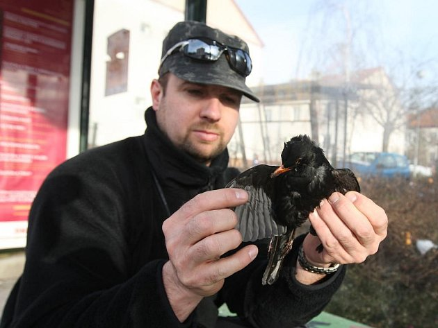 Karel Makoň ukazuje mrtvého kosa, který zahynul po nárazu na prosklenou čekárnu MHD