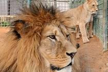 Trojice lvů berberských v jednom výběhu plzeňské zoo