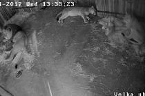 Záběry kamery ve výběhu lvů