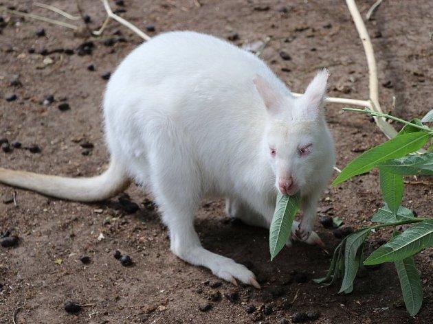 Klokan albín je k vidění v plzeňské zoo