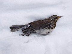 """""""Zima je prostě zima a do naší přírody patří. To, že jsme si několik posledních zim zvykli na plusové teploty bez sněhu je opravdu jen a jen náš problém. Volně žijící zvířata problémy se zimou, sněhem a mrazem nemají a mít nebudou,"""" říká Karel Makoň"""