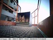 Mláďata sokola stěhovavého na komínu Plzeňské energetiky