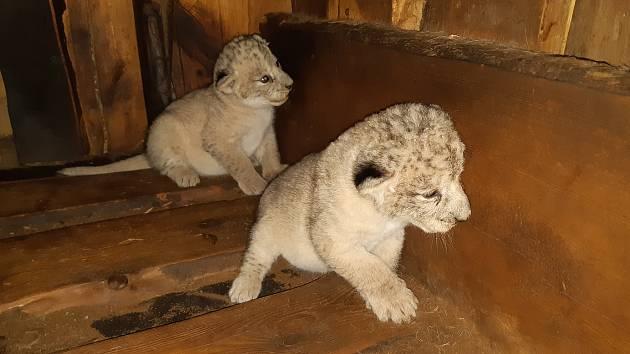 Lvice a lvíček, kteří se v úterý narodili samici lva berberského Tamice. Foto: Lenka Václavová