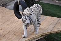 Bílý tygr bengálský v areálu v Plasích