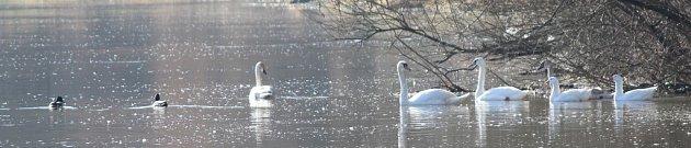 Nákazu do Bohů přinesly divoké kachny. Kromě nich na řece zimují také labutě, další známí přenašeči
