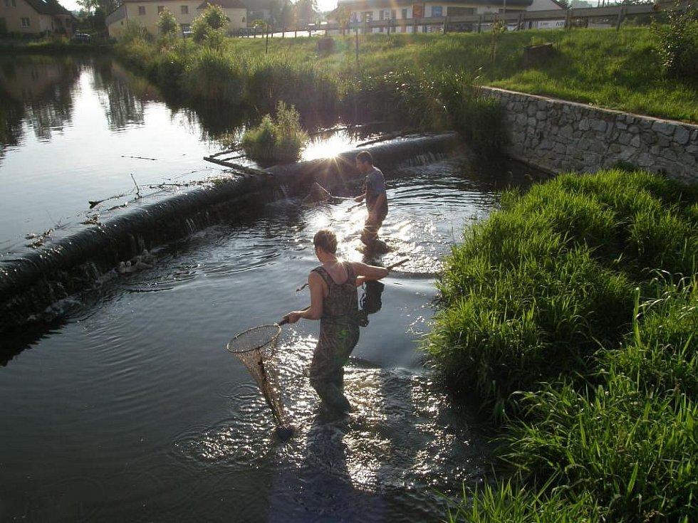 Minimálně jedno z mláďat labutí skončí každý rok pod splavem Špitálského rybníka. Celá rodinka za ním pak naskáče a nepomučtí ornitologové je musí přijet vysvobodit