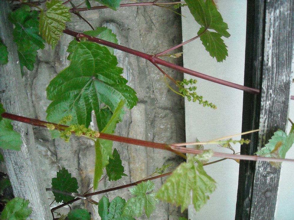 Vinná réva na počátku květu.