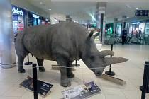 Vycpaná samice severního bílého nosorožce jménem Nabiré