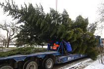 Převoz vánoční jedle z Nebílovského Borku do Plzně