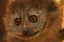 Nejmladší lemur v plzeňské zoo dostal jméno Mailo. Pokřtila ho starostka prvního městského obvodu Helena Řežábová.