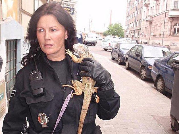 Strážnice městské policie ze skupiny pro odchyt toulavých zvířat s nalezeným leguánem.