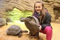 Želvy obrovské chová plzeňská zoo už několik let, nyní obývají výběh s lemury kata. Návštěvníci si mohou patnáctikilové ´tanky´ prohlédnout pouze přes sklo, jedenáctiletá Markétka Hegerová si však mohla jejich váhu vyzkoušet na vlastní kůži