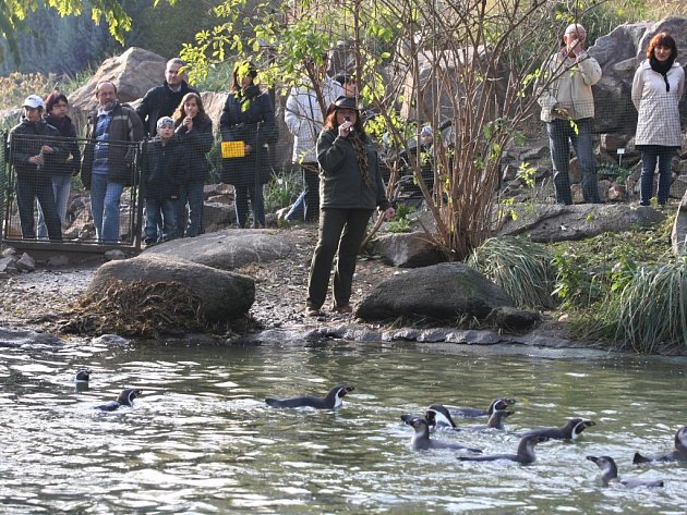 Komentované krmení tučňáků v plzeňské zoo