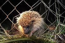 Ježek uvízl v plotu, pomoci z něj mu museli lidé