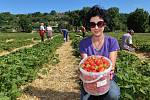 Na pěti hektarech mezi Plzní a Radčicemi dozrávají jahody různých odrůd. Cena jahod je 100 korun a při samosběru 80 korun za kilogram. Na snímku sběračka Andrea Semotánová.