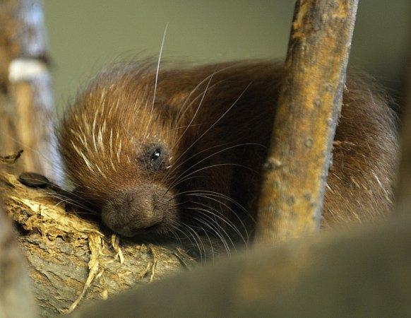 Vzoo se také narodilo třetí mládě kuandu obecného.