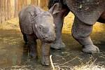 Plzeňská ZOO zpřístupnila pavilon nosorožců. K vidění jsou maminka Manjula a momentálně osmdesátikilové mládě Růženka.