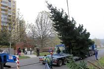 Kácení a převoz vánočního stromu z Bolevce