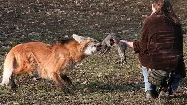 Vlčice Ari dostala k narozeninám vypaseného králíka, na kterém si ihned pochutnala