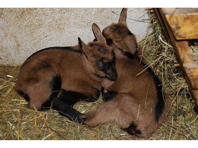 Jedenáct malých kůzlátek a jedno jehně se během posledního týdne narodilo v Nové Vsi u chovatelky Boženy Benešové